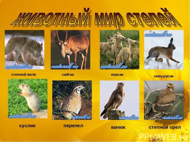 степной волк сайгак корсак заяц-русак суслик перепел канюк степной орел