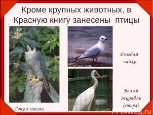 Кроме крупных животных, в Красную книгу занесены птицы Сокол сапсан Розовая чайк