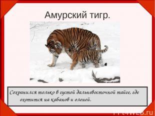 Амурский тигр. Сохранился только в густой дальневосточной тайге, где охотится на