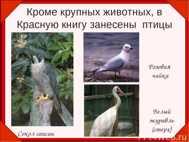 Кроме крупных животных, в Красную книгу занесены птицы Сокол сапсан Розовая чайка Белый журавль (стерх)