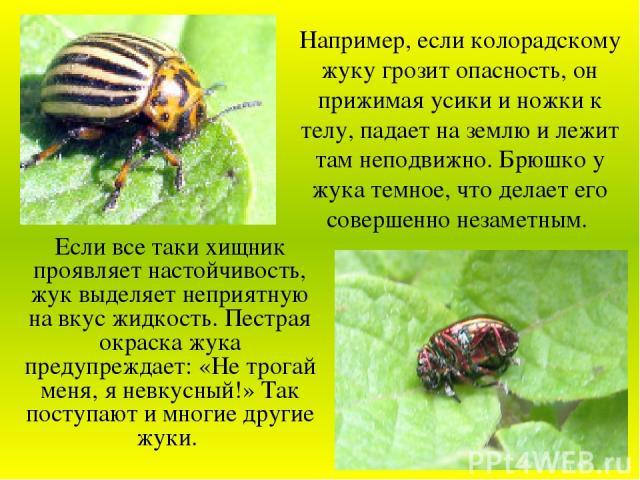 Если все таки хищник проявляет настойчивость, жук выделяет неприятную на вкус жидкость. Пестрая окраска жука предупреждает: «Не трогай меня, я невкусный!» Так поступают и многие другие жуки. Например, если колорадскому жуку грозит опасность, он приж…