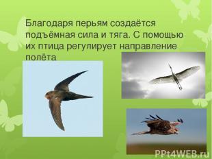 Благодаря перьям создаётся подъёмная сила и тяга. С помощью их птица регулирует