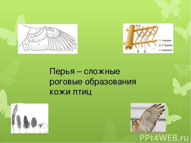 Перья – сложные роговые образования кожи птиц