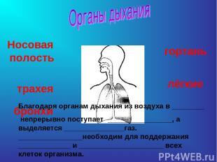 Носовая полость трахея бронхи гортань лёгкие Благодаря органам дыхания из воздух