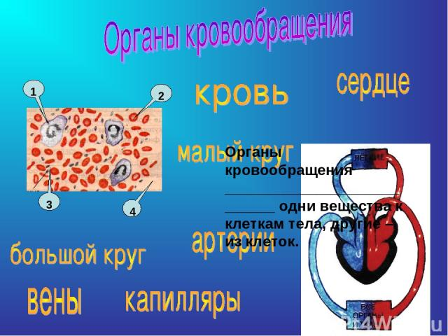 Органы кровообращения ___________________________ одни вещества к клеткам тела, другие – из клеток.