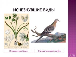 Птицемлечик Буше Странствующий голубь