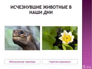 Абигдонская черепаха Горячая кувшинка