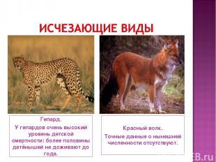 Гепард. У гепардов очень высокий уровень детской смертности: более половины детё