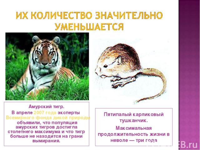Амурский тигр. В апреле 2007 года эксперты Всемирного фонда дикой природы объявили, что популяция амурских тигров достигла столетнего максимума и что тигр больше не находится на грани вымирания. Пятипалый карликовый тушканчик. Максимальная продолжит…