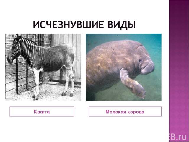 Квагга Морская корова