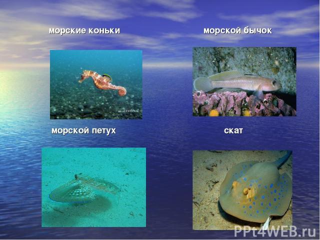 морские коньки морской бычок морской петух скат