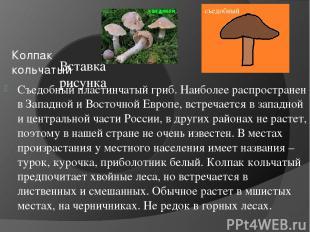 Колпак кольчатый Съедобный пластинчатый гриб. Наиболее распространен в Западной