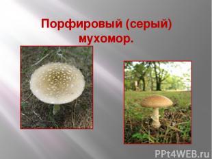 Порфировый (серый) мухомор.