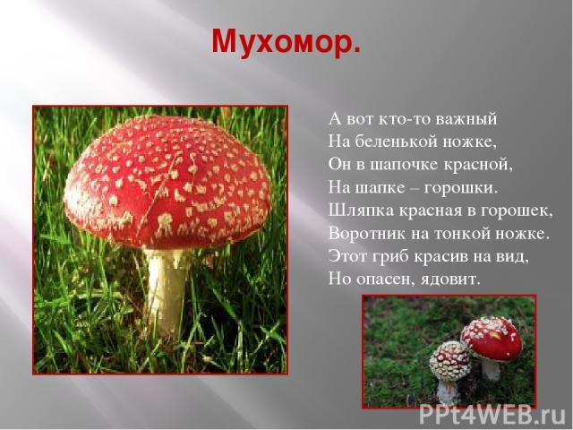 Мухомор. А вот кто-то важный На беленькой ножке, Он в шапочке красной, На шапке – горошки. Шляпка красная в горошек, Воротник на тонкой ножке. Этот гриб красив на вид, Но опасен, ядовит.