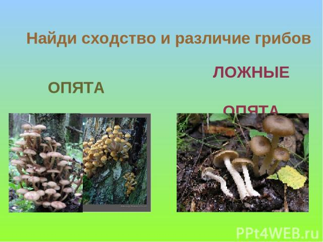 ЛОЖНЫЕ ОПЯТА ОПЯТА Найди сходство и различие грибов