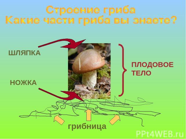 ШЛЯПКА НОЖКА грибница ПЛОДОВОЕ ТЕЛО