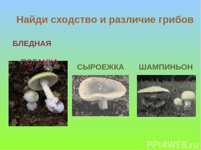 БЛЕДНАЯ ПОГАНКА СЫРОЕЖКА ШАМПИНЬОН Найди сходство и различие грибов