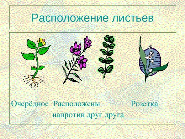 * Расположение листьев Очерёдное Расположены Розетка напротив друг друга