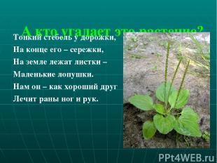 А кто угадает это растение? Тонкий стебель у дорожки, На конце его – сережки, На