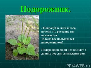 Подорожник. - Попробуйте догадаться, почему это растение так называется. Кто из