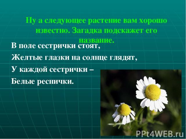 Ну а следующее растение вам хорошо известно. Загадка подскажет его название. В поле сестрички стоят, Желтые глазки на солнце глядят, У каждой сестрички – Белые реснички.