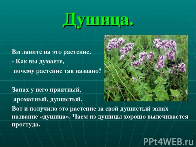Душица.  Взгляните на это растение. - Как вы думаете, почему растение так названо? Запах у него приятный, ароматный, душистый. Вот и получило это растение за свой душистый запах название «душица». Чаем из душицы хорошо вылечивается простуда.