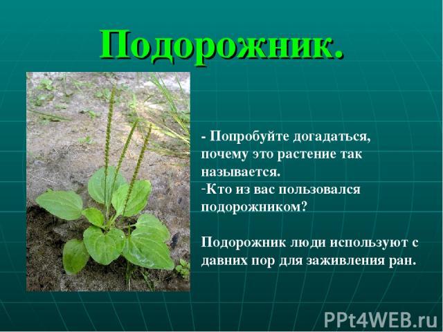 Подорожник. - Попробуйте догадаться, почему это растение так называется. Кто из вас пользовался подорожником? Подорожник люди используют с давних пор для заживления ран.