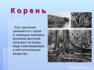 К о р е н ь Рост растения начинается с корня. С помощью корневых волосков растен