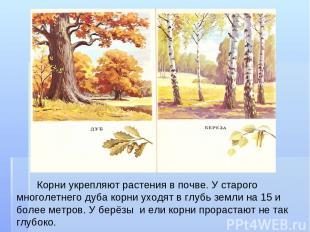 Корни укрепляют растения в почве. У старого многолетнего дуба корни уходят в глу