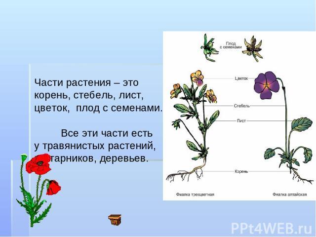 Части растения – это корень, стебель, лист, цветок, плод с семенами. Все эти части есть у травянистых растений, кустарников, деревьев.