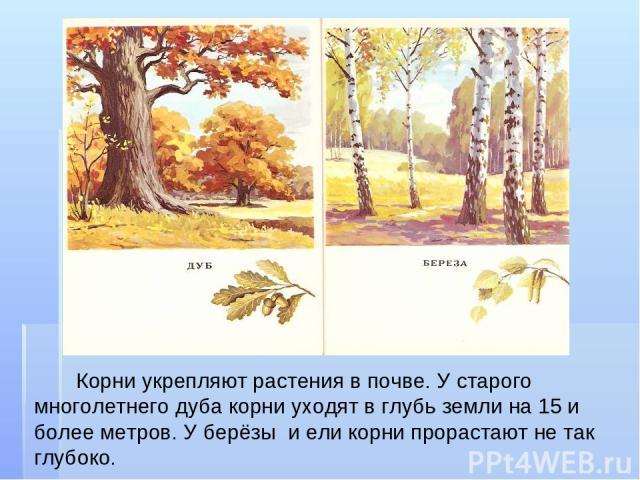 Корни укрепляют растения в почве. У старого многолетнего дуба корни уходят в глубь земли на 15 и более метров. У берёзы и ели корни прорастают не так глубоко.