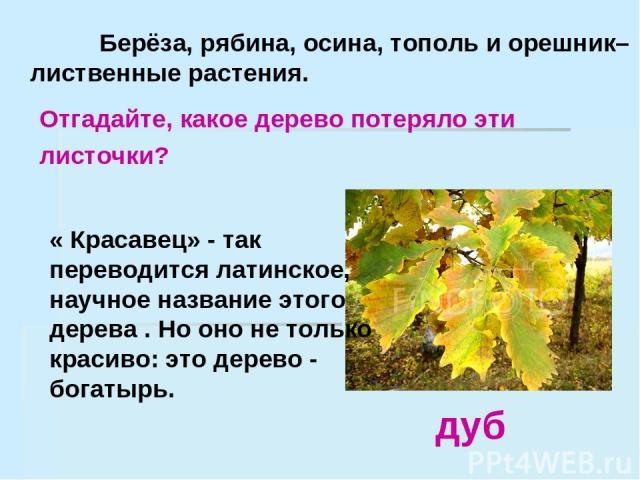 Берёза, рябина, осина, тополь и орешник– лиственные растения. дуб Отгадайте, какое дерево потеряло эти листочки? « Красавец» - так переводится латинское, научное название этого дерева . Но оно не только красиво: это дерево - богатырь.