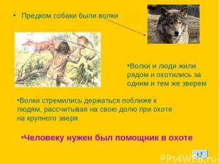 Предком собаки были волки Волки и люди жили рядом и охотились за одним и тем же