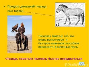 Предком домашней лошади был тарпан. Человек заметил что это очень выносливое и б