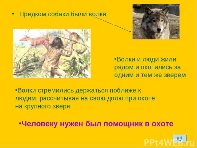 Предком собаки были волки Волки и люди жили рядом и охотились за одним и тем же зверем Волки стремились держаться поближе к людям, рассчитывая на свою долю при охоте на крупного зверя Человеку нужен был помощник в охоте