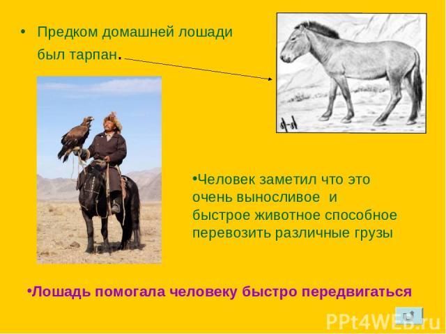 Предком домашней лошади был тарпан. Человек заметил что это очень выносливое и быстрое животное способное перевозить различные грузы Лошадь помогала человеку быстро передвигаться