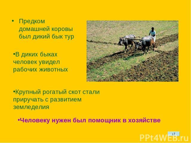 Предком домашней коровы был дикий бык тур В диких быках человек увидел рабочих животных Крупный рогатый скот стали приручать с развитием земледелия Человеку нужен был помощник в хозяйстве
