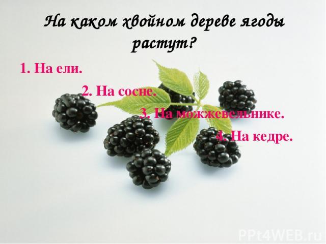 На каком хвойном дереве ягоды растут? 1. На ели. 2. На сосне. 3. На можжевельнике. 4. На кедре.