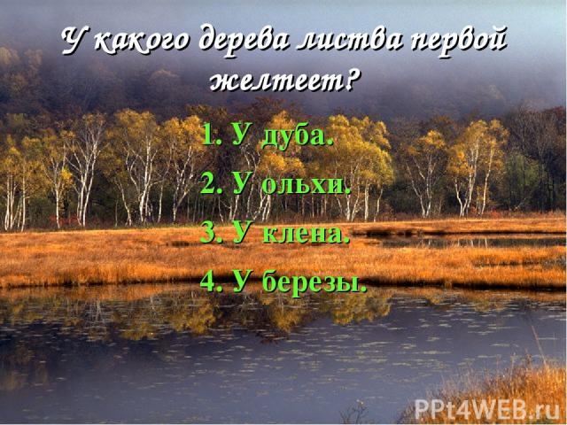 У какого дерева листва первой желтеет? 1. У дуба. 2. У ольхи. 3. У клена. 4. У березы.