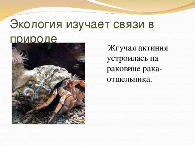Экология изучает связи в природе Жгучая актиния устроилась на раковине рака-отшельника.