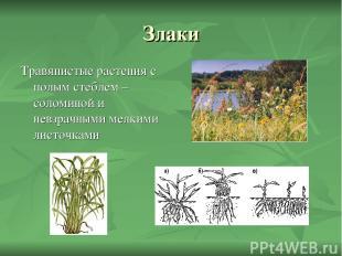 Злаки Травянистые растения с полым стеблем – соломиной и невзрачными мелкими лис