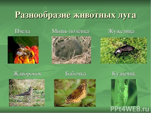 Разнообразие животных луга Пчела Мышь-полёвка Жужелица Жаворонок Бабочка Кузнечик