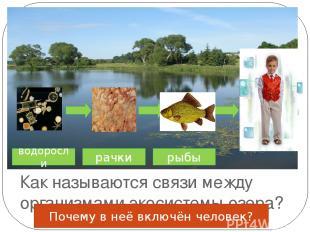 Как называются связи между организмами экосистемы озера? водоросли рачки рыбы По