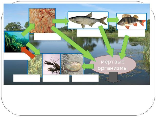 Как связаны организмы в экосистеме озера? мёртвые организмы окунь уклейка рачки водоросли бактерии Речной рак беззубка