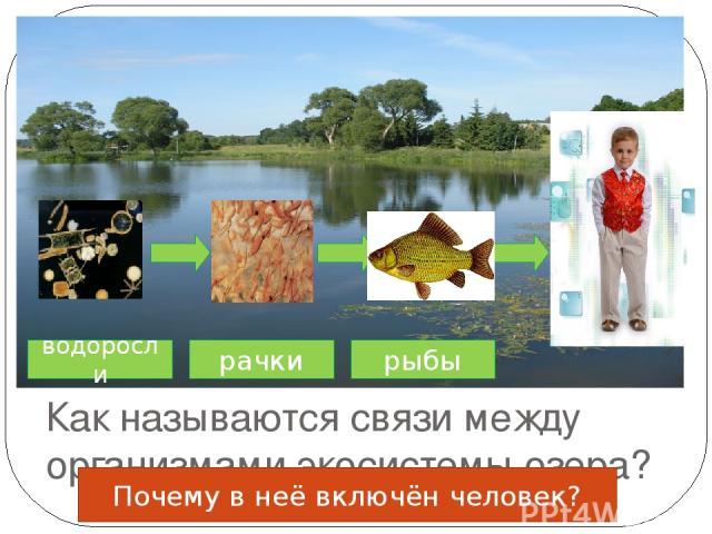 Как называются связи между организмами экосистемы озера? водоросли рачки рыбы Почему в неё включён человек?