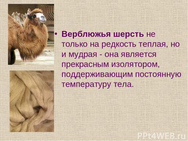 Верблюжья шерсть не только на редкость теплая, но и мудрая - она является прекрасным изолятором, поддерживающим постоянную температуру тела.