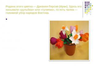 Родина этого цветка — Древняя Персия (Иран). Здесь его называли «дульбаш» или «т