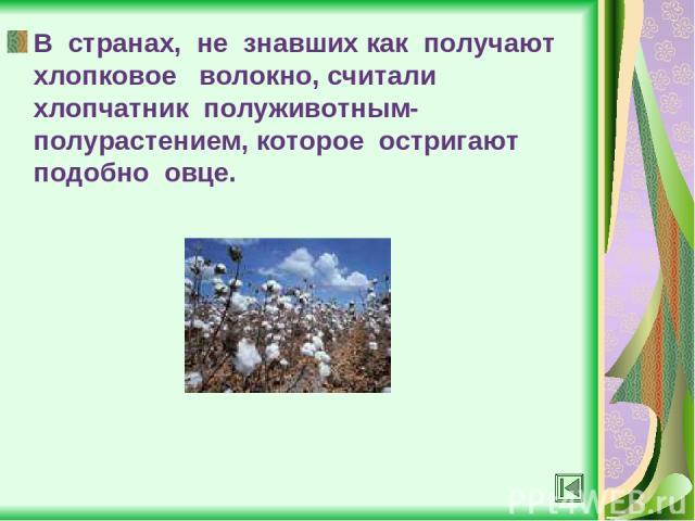 В странах, не знавших как получают хлопковое волокно, считали хлопчатник полуживотным-полурастением, которое остригают подобно овце.