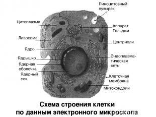 Схема строения клетки по данным электронного микроскопа