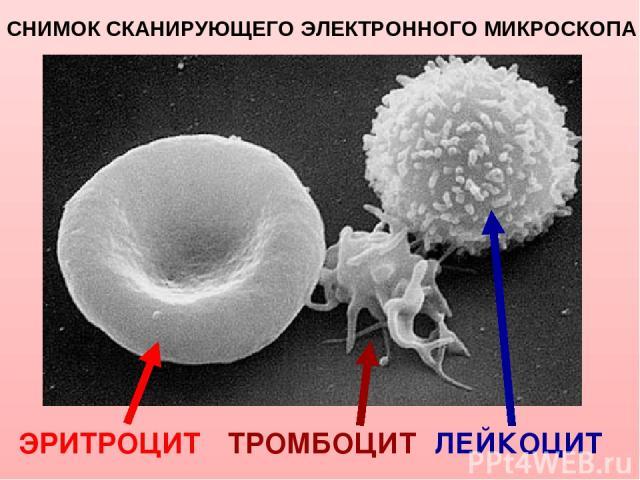 Снимок сканирующего электронного микроскопа Слева направо: эритроцит, тромбоцит и лейкоцит (T-лимфоцит). ЭРИТРОЦИТ ЛЕЙКОЦИТ СНИМОК СКАНИРУЮЩЕГО ЭЛЕКТРОННОГО МИКРОСКОПА ТРОМБОЦИТ